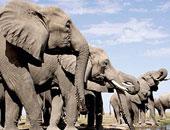 أفيال جنوب أفريقيا تتدرب على رصد القنابل بحاسة الشم