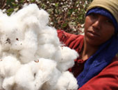 بلومبرج: القطن المصرى طويل التيلة يمر بأزمة إنتاج