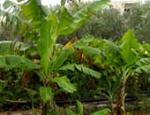 حزمة إرشادية لأشجار الموز خلال عملية تزهير المحصول.. تعرف عليها