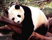 دبة الباندا مى شيانج تنتظر مولودها المرتقب فى واشنطن خلال أسابيع