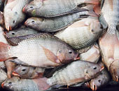 أسعار الأسماك اليوم فى سوق العبور.. البلطى الأسوانى يبدأ من 15 جنيها