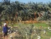 """""""البحوث الزراعية"""": لدينا 15مليون نخلة تنتج 1.6 مليون طن تمور وبلح فى مصر"""
