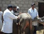 بيطرى أسيوط تنظم حملات لتحصين الماشية ضد الحمى القلاعية والوادى المتصدع