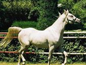 """""""الزراعة"""": مفاوضات مع الاتحاد الأوربى لرفع حظر تصدير الخيول المصرية"""