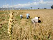 وزارة الزراعة تُعلن استلام  29 مليون إردب قمح من المزارعين حتى الآن