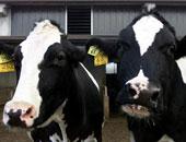 إسكتلندا تعلن ظهور حالة إصابة مؤكدة بمرض جنون البقر