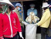 أعراض أنفلونزا الطيور على الدجاج والبط وطرق التعامل معها