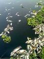 الأسماك النافقة