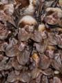 شاهد.. 120 خفاشا يختبئون من الثلوج داخل شرفة أحد المنازل فى أوكرانيا