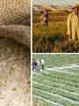 الحكومة تواجه احتكار الأرز باستيراد 500 ألف طن