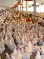 تحصين 2.2 مليون رأس طائر ضد أنفلونزا الطيور ومعاينة 1503 مزارع
