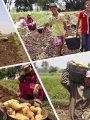 الزراعة: مصر تنتج 5 ملايين طن بطاطس سنويا والسوق يحتاج 4 فقط
