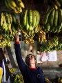 انخفاض أسعار الموز بسوق الجملة بأكتوبر.. البلدى يبدأ من 5 جنيهات