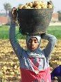 الزراعة: بدء استيراد تقاوى البطاطس للموسم الجديد ووصول أول شحنة خلال أيام
