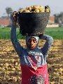 """""""الزراعة"""": طرح محصول البطاطس للعروة النيلية بالأسواق خلال أيام"""
