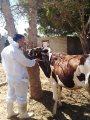 """""""الخدمات البيطرية"""" تؤكد تحصين 13 ألف رأس ماشية ضد 4 أمراض فى الجيزة"""