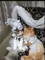 دقوا المزاهر يلا.. حفل زفاف قط وقطة يثير الجدل بمواقع التواصل الاجتماعى