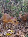 """""""الفأر الغزال"""" ظهور حيوان غريب فى فيتنام منقرض منذ 25 عاما"""