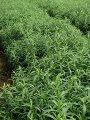لجنة تفتيش أوروبية لمنح الاعتماد لمزارعى النباتات الطبية والعطرية بأسوان