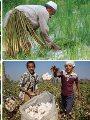 طوارئ بـ28 مديرية زراعية لمتابعة 4 محاصيل صيفية