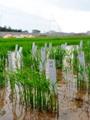 زراعة الأرز - صورة أرشيفية