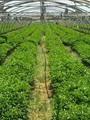 الصوب الزراعية وتأمين احتياجات مصر من الأغذبة