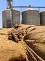 """""""الزراعة"""" تقرر منع دخول الأقماح المستوردة المصابة بأى نسبة من """"الأرجوت"""""""