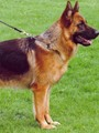 جيرمان.. الكلب البوليسى