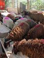 """""""الزراعة"""": أسعار أضحيات العيد 37 جنيهًا لكيلو الأغنام و29 للأبقار"""