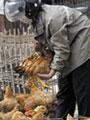 أنفلوانزا الطيور - أرشيفية