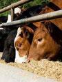 """""""الزراعة"""": استمرار حظر نقل ماشية سيناء للمحافظات بسب انتشار 3 فيروسات وبائية.. وإجراءات مشددة على الحدود مع السودان وليبيا.. والطب الوقائى: تهريب الماشية عبر أنفاق غزة كارثة على الثروة الحيوانية"""