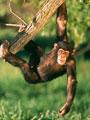 """دراسة أمريكية: """"الإيبولا"""" قتل ثلث الشمبانزى والغوريلا فى العالم"""