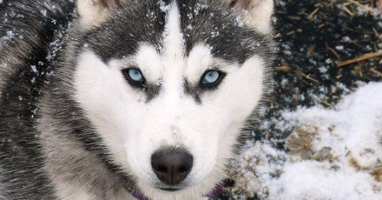 5 معلومات لازم تعرفها قبل ما تشترى كلب هاسكى أهمها بيعيش فى البرد اليوم السابع